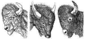 Buffalo - John Hitchcock